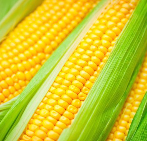 maize470450