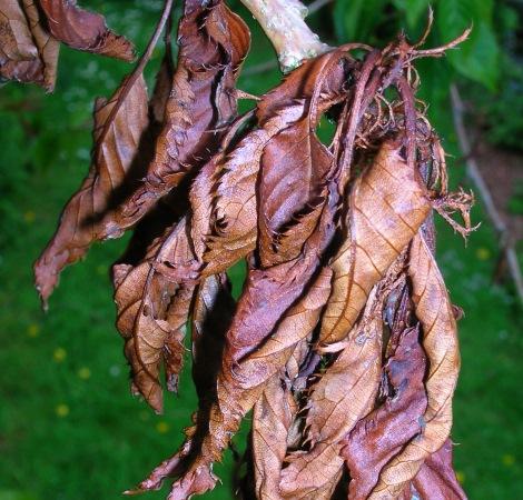 leafcanker470450